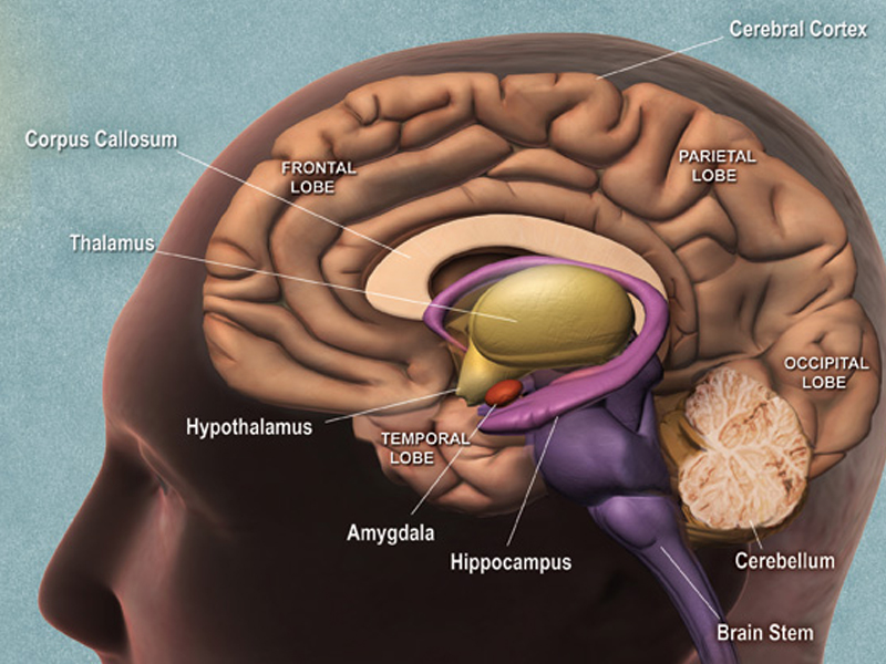 Brain Structure and its Functions